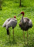 Couple Eastern Sarus Crane Stock Photo