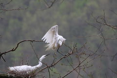 A couple of egrets Royalty Free Stock Photography