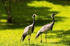 Couple of egrets in nature Stock Photography