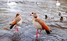 Couple of egyptian geese - Alopochen aegyptiacus Royalty Free Stock Photography