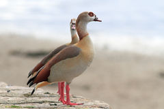 Couple of Egyptian geese Royalty Free Stock Photos