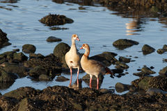 Couple of Egyptian geese Royalty Free Stock Photography