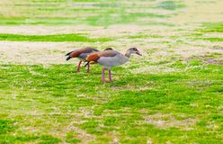 Couple of Egyptian geese Royalty Free Stock Images