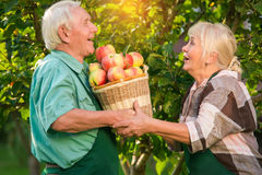 Couple of elderly gardeners. Man holding basket of apples. The helping hands Stock Image