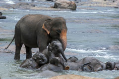 A couple of elephant calves climb over an adult elephant whilst bathing in the Maha Oya River in central Sri Lanka. Stock Image