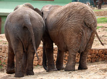 A couple of elephants. The backside of a couple of elephants stock photo