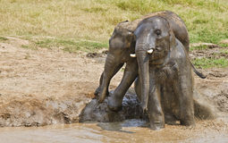 Couple elephants in mud. Royalty Free Stock Image