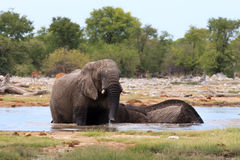 Couple of elephants Royalty Free Stock Image