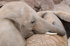 Couple of elephants, playing with love. Couple of elephants playing with love, horizontal photo Royalty Free Stock Image