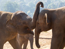 Couple of elephants playing together Stock Images