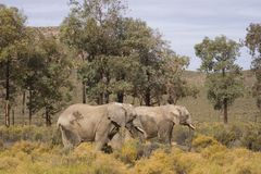 Couple of elephants walking Stock Images
