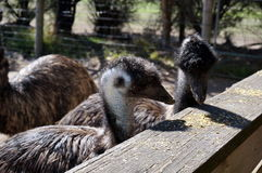 Couple of Emus Royalty Free Stock Image