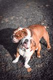 Couple of English bulldogs. Playing outdoor,selective focus stock image