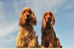 Couple of english cocker Stock Photos