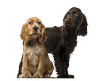 Couple of an English Cocker Spaniel puppies stock images