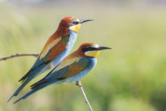 Couple  European bee-eater  on a branch Royalty Free Stock Images