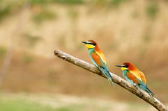 Couple of European Bee-eaters (Merops apiaster) Royalty Free Stock Photo