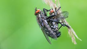 Couple of European common flesh flies. Sarcophaga carnaria royalty free stock photo