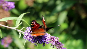 Couple of European Peacock at pink Buddleja flower stock video footage