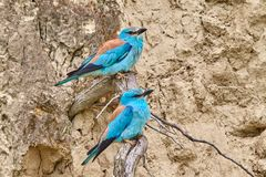 Couple of european roller Coracias garrulus sitting on a branch. In natural habitat Royalty Free Stock Photography