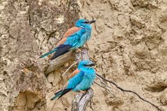 Couple of european roller Coracias garrulus sitting on a branch. In natural habitat Stock Photography