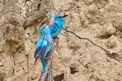 Couple of european roller Coracias garrulus sitting on a branch. In natural habitat Royalty Free Stock Photo