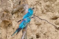 Couple of european roller Coracias garrulus sitting on a branch. In natural habitat Stock Image