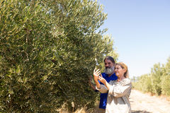 Couple examining olive oil in farm. On a sunny day Royalty Free Stock Photography