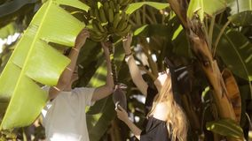 Couple exploring the nature - examining banana tree, flower and fruits growing on a green tree. Beautiful lovers. Couple hugs. Smiles, laughs, kisses stock video