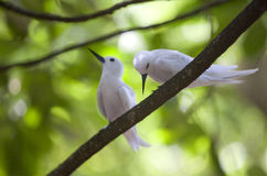 A couple of fairy terns on the branch Royalty Free Stock Images