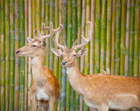 Couple Of Fallow Deer Stock Photos