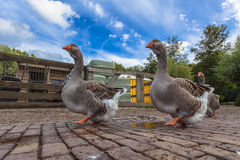 Couple of Farm Goose Royalty Free Stock Image