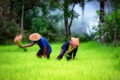 Couple farmer working on green rice field together stock photos