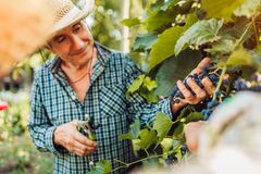 Couple of farmers checking crop of grapes on ecological farm. Happy senior man and woman gather harvest. Gardening royalty free stock image