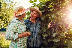 Couple of farmers checking crop of grapes on ecological farm. Happy senior man and woman gather harvest. Couple of farmers checking crop of grapes on ecological royalty free stock images