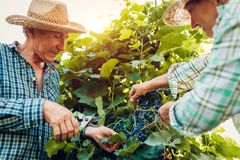 Couple of farmers checking crop of grapes on ecological farm. Happy senior man and woman gather harvest. Couple of farmers checking crop of grapes on ecological royalty free stock photo