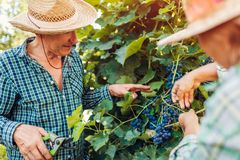 Couple of farmers checking crop of grapes on ecological farm. Happy senior man and woman gather harvest. Couple of farmers checking crop of grapes on ecological stock images