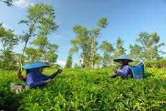 Couple female farmers harvesting tea leaves