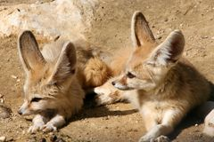Couple of fennecs 1 Royalty Free Stock Photos