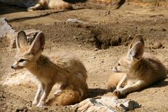 Couple of fennecs 3. A couple of fennecs, the desert foxes Royalty Free Stock Photography