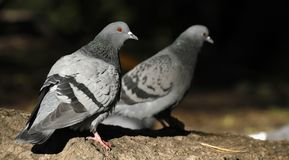 Couple of feral pigeons, Columba livia domestica. Royalty Free Stock Image