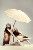 Couple of ferrets - portrait on beach chair in studio. Ferret couple portrait on beach chair in studio Stock Image