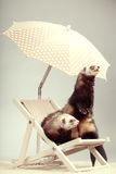 Couple of ferrets - portrait on beach chair in studio. Ferret couple portrait on beach chair in studio Royalty Free Stock Images