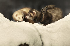 Couple of ferrets posing on snow Royalty Free Stock Photos