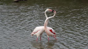 Couple of fighting flamingos, Camargue, France stock video footage