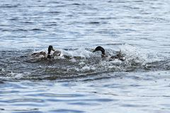 A couple fighting geese Royalty Free Stock Photos