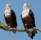 Couple of fish eagles sitting on a tree. Royalty Free Stock Image