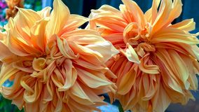 Couple of flamethrower dahlia flowers stock photo