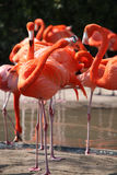 Couple of flamingos Royalty Free Stock Photo