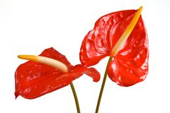 Couple of Flamingos. Couple of Anthurium/Flamingo flowers isolated on white background stock images
